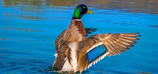 duck-4077117_960_720